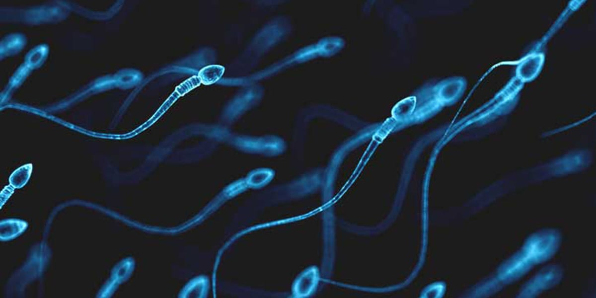 Lifespan of a sperm