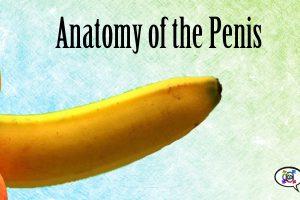 anatomy-penis