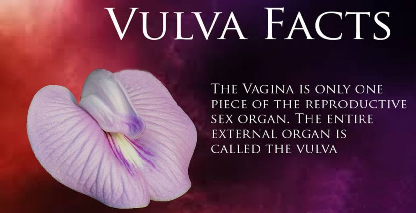 what is a vulva